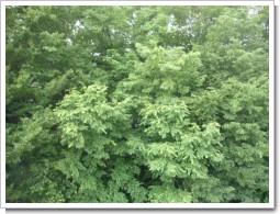 桶川市倉田N様 東京タワー受信方向は林、目の前。.JPG